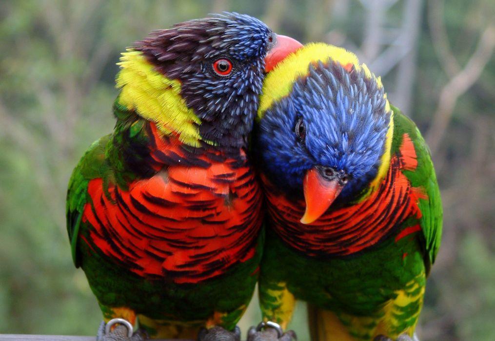 LORY parrot bird tropical (22) wallpaper