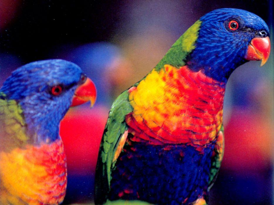 LORY parrot bird tropical (23) wallpaper