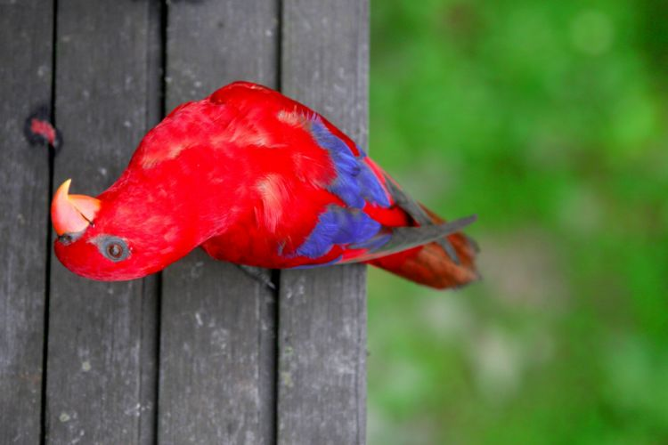 LORY parrot bird tropical (25) wallpaper