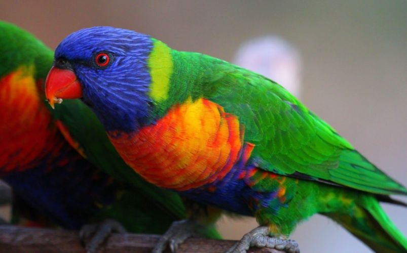 LORY parrot bird tropical (30) wallpaper