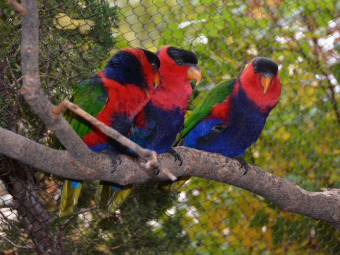 LORY parrot bird tropical (27) wallpaper