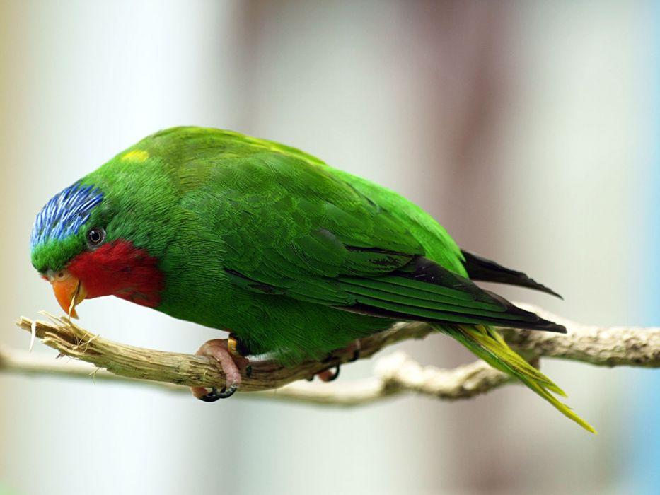 LORY parrot bird tropical (39) wallpaper