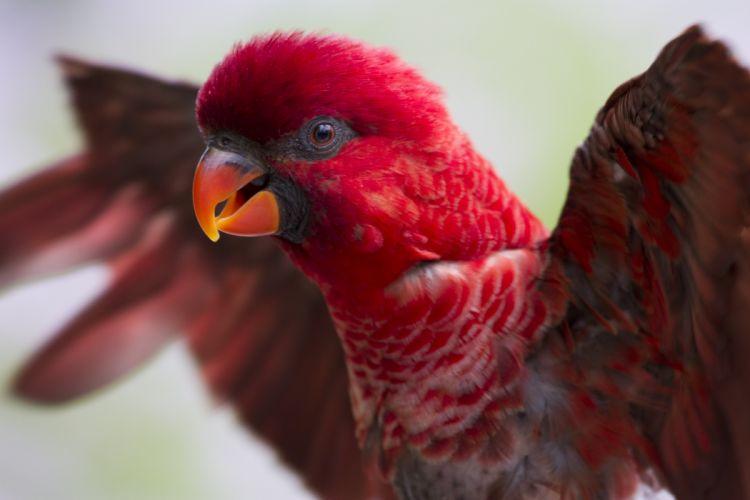 LORY parrot bird tropical (36) wallpaper