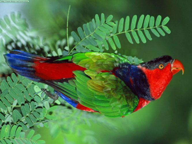 LORY parrot bird tropical (40) wallpaper