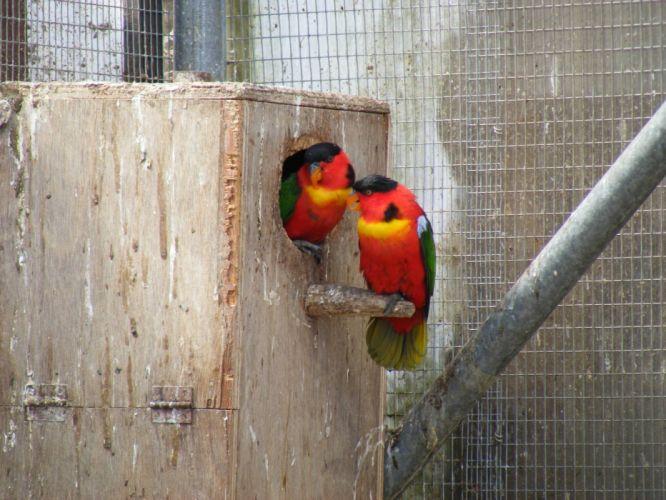 LORY parrot bird tropical (41) wallpaper