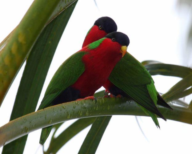 LORY parrot bird tropical (42)_JPG wallpaper