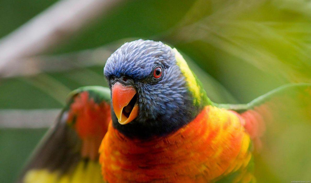 LORY parrot bird tropical (44) wallpaper