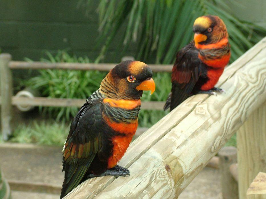 LORY parrot bird tropical (48) wallpaper