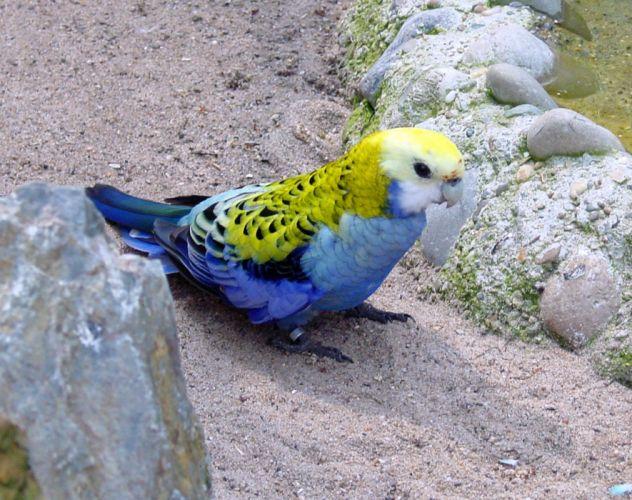 ROSELLA parrot bird tropical (7) wallpaper