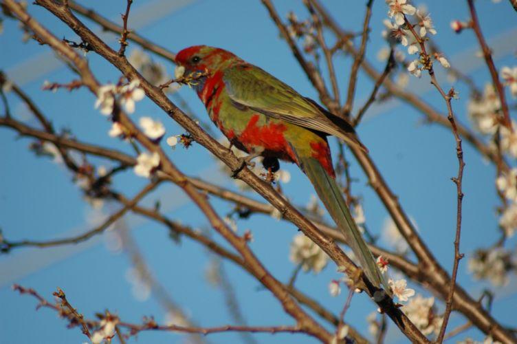 ROSELLA parrot bird tropical (8) wallpaper