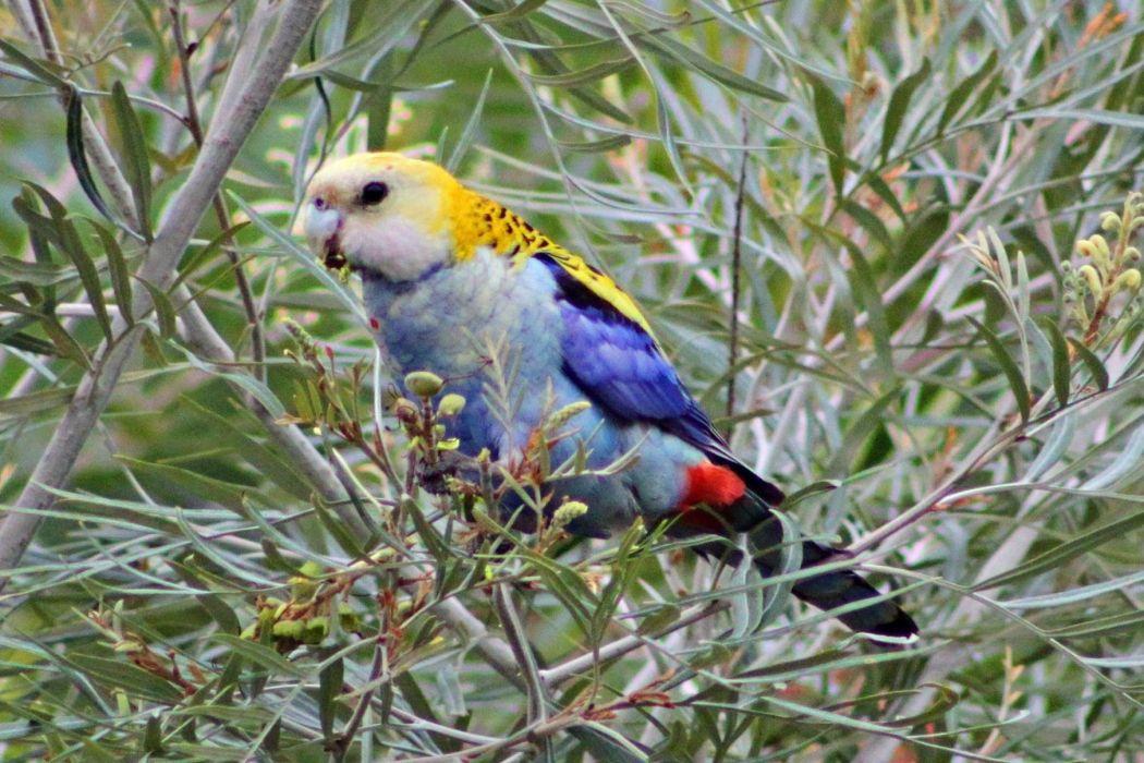 ROSELLA parrot bird tropical (26)_JPG wallpaper