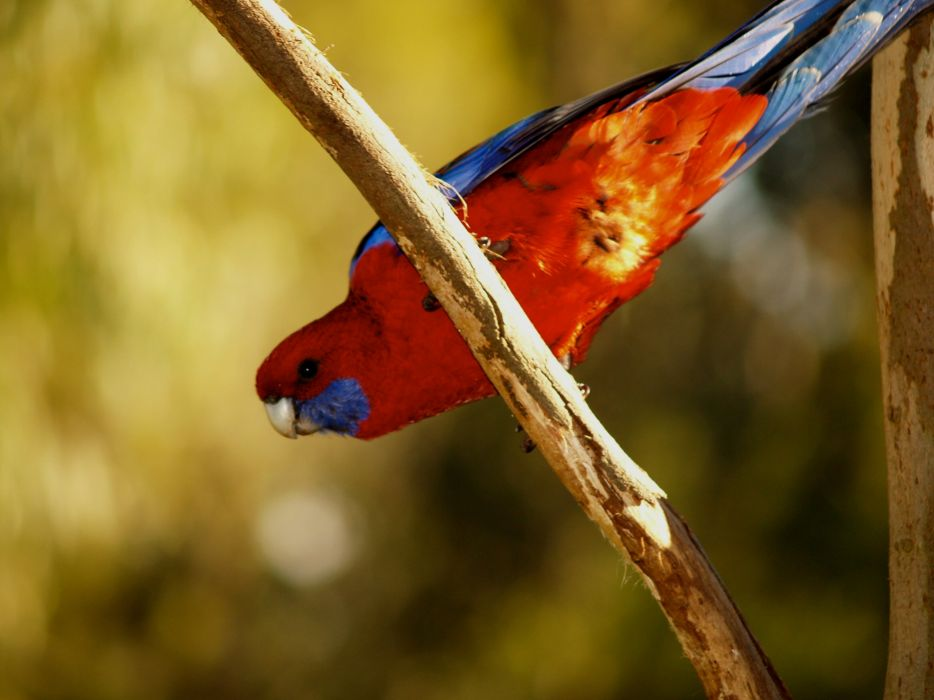 ROSELLA parrot bird tropical (30) wallpaper