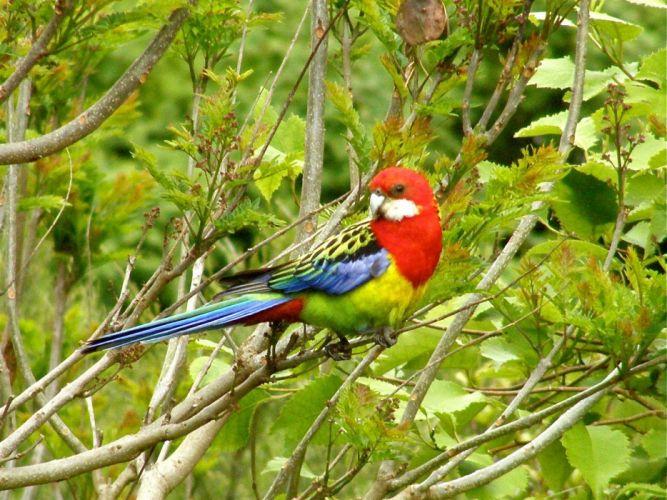 ROSELLA parrot bird tropical (35) wallpaper