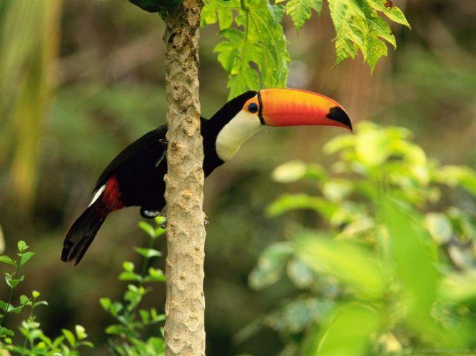 TOUCAN parrot bird tropical (4) wallpaper
