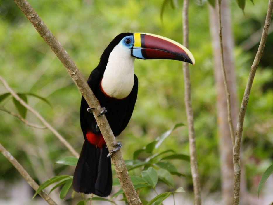 TOUCAN parrot bird tropical (7)_JPG wallpaper