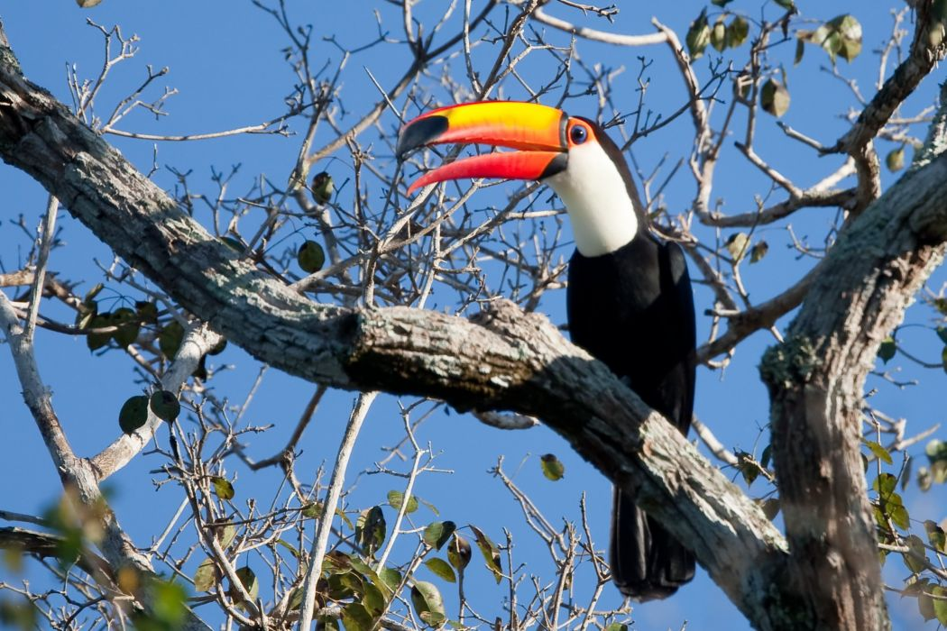TOUCAN parrot bird tropical (10) wallpaper