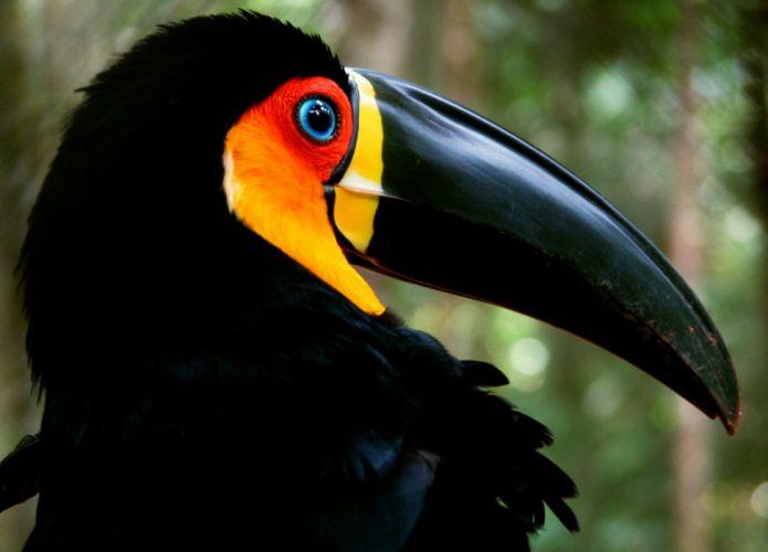 TOUCAN parrot bird tropical (16) wallpaper