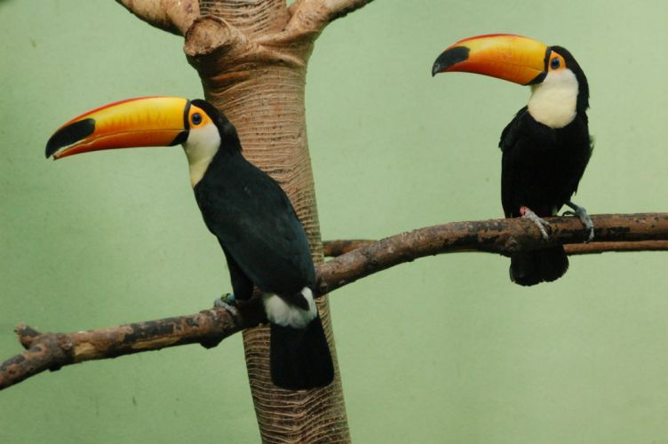 TOUCAN parrot bird tropical (21) wallpaper