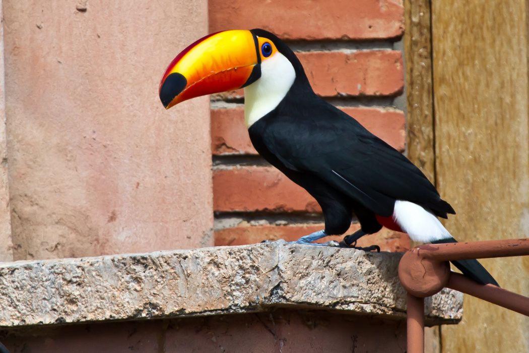 TOUCAN parrot bird tropical (19) wallpaper