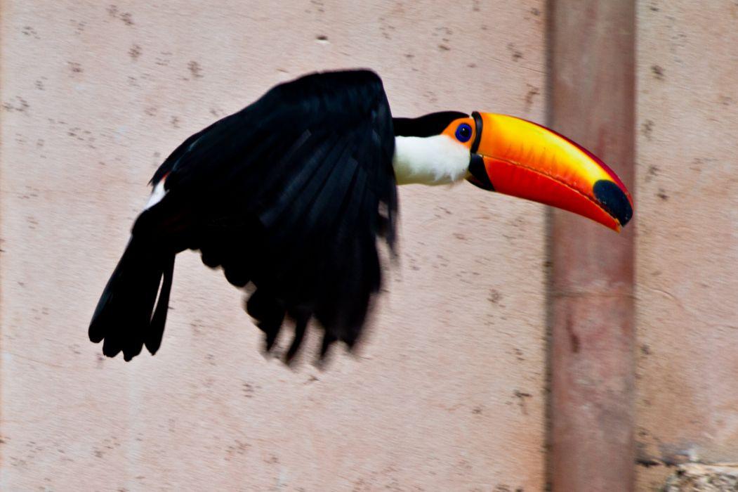 TOUCAN parrot bird tropical (23) wallpaper