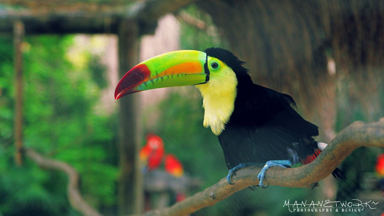 TOUCAN parrot bird tropical (29) wallpaper