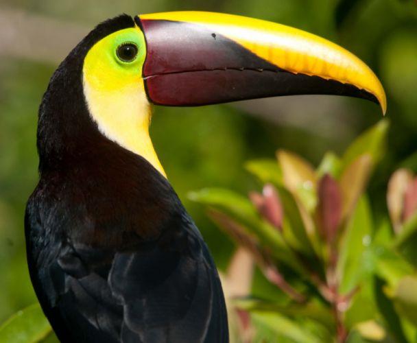 TOUCAN parrot bird tropical (33) wallpaper