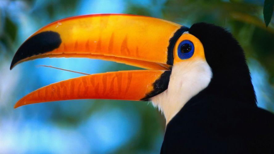 TOUCAN parrot bird tropical (39) wallpaper