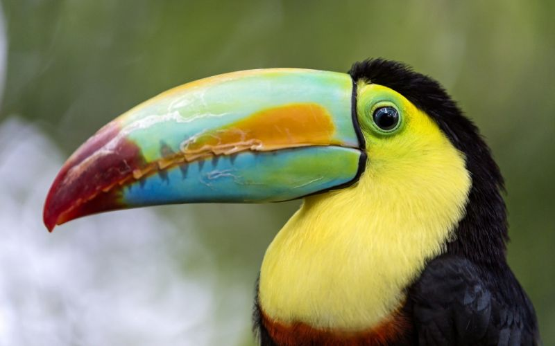 TOUCAN parrot bird tropical (43) wallpaper