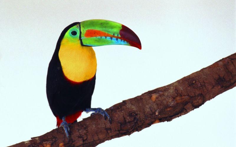 TOUCAN parrot bird tropical (46) wallpaper