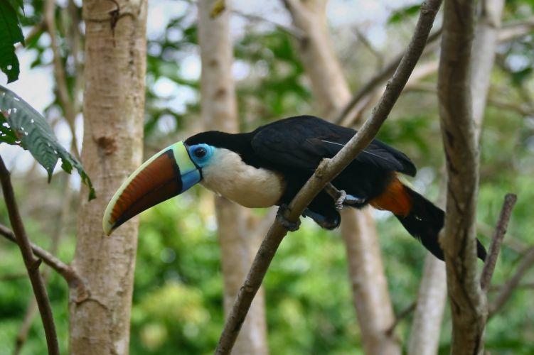TOUCAN parrot bird tropical (54) wallpaper