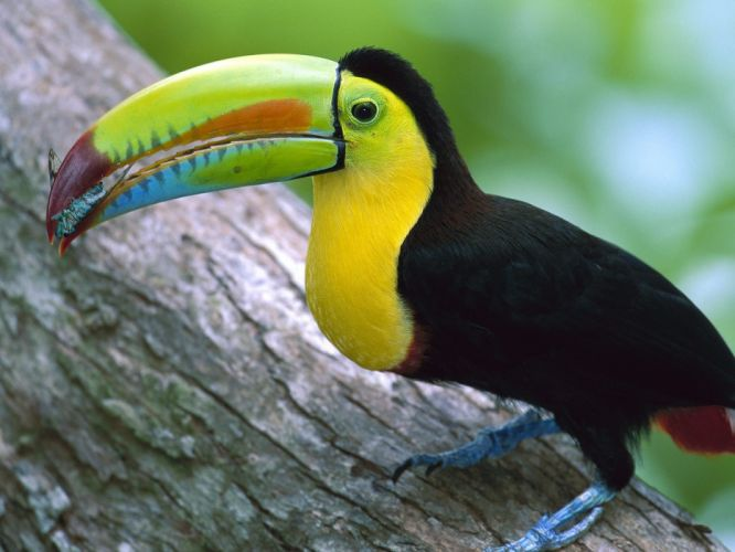 TOUCAN parrot bird tropical (56) wallpaper