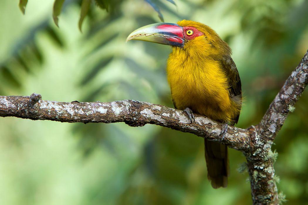 TOUCAN parrot bird tropical (70) wallpaper
