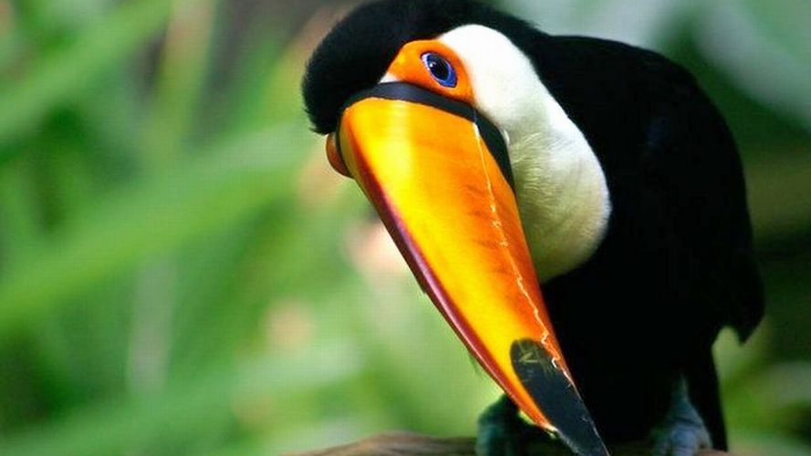 TOUCAN parrot bird tropical (67) wallpaper