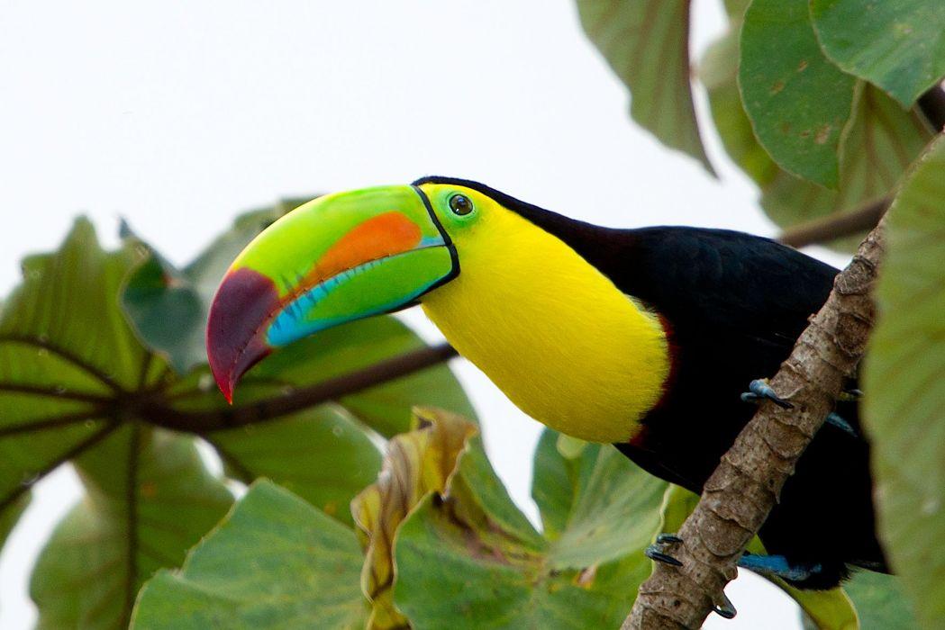 TOUCAN parrot bird tropical (2) wallpaper