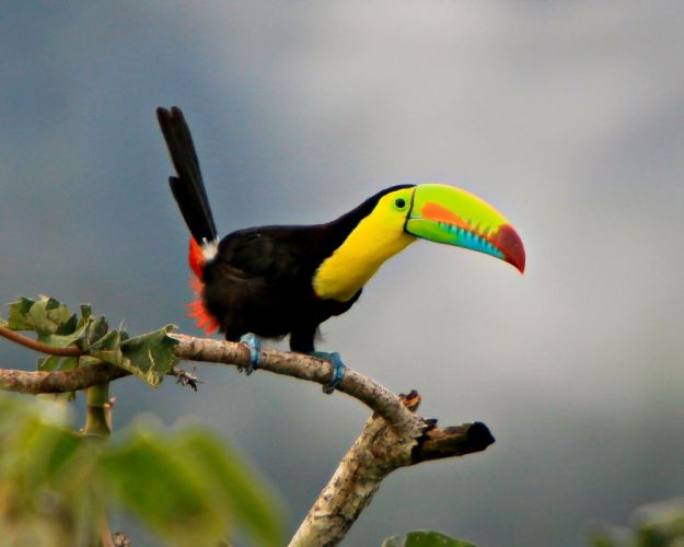 TOUCAN parrot bird tropical (8) wallpaper