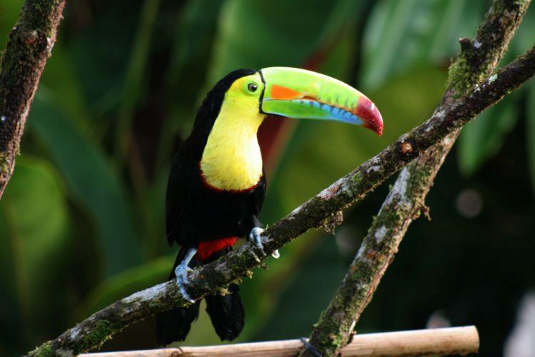 TOUCAN parrot bird tropical (6) wallpaper