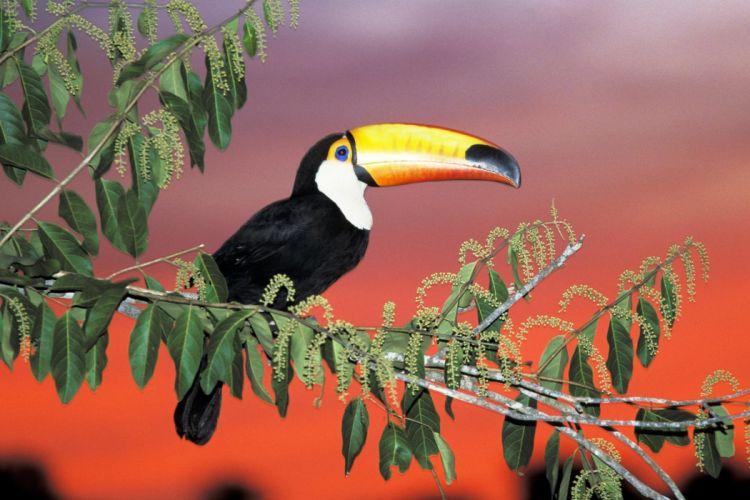 TOUCAN parrot bird tropical (14) wallpaper