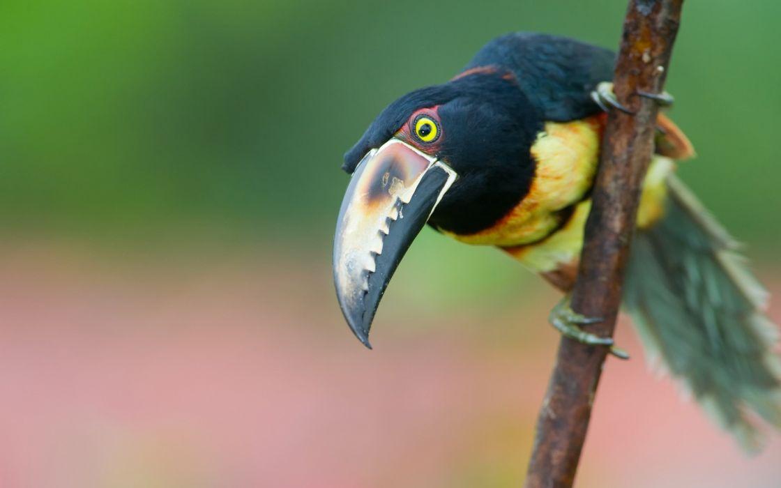 TOUCAN parrot bird tropical (17) wallpaper