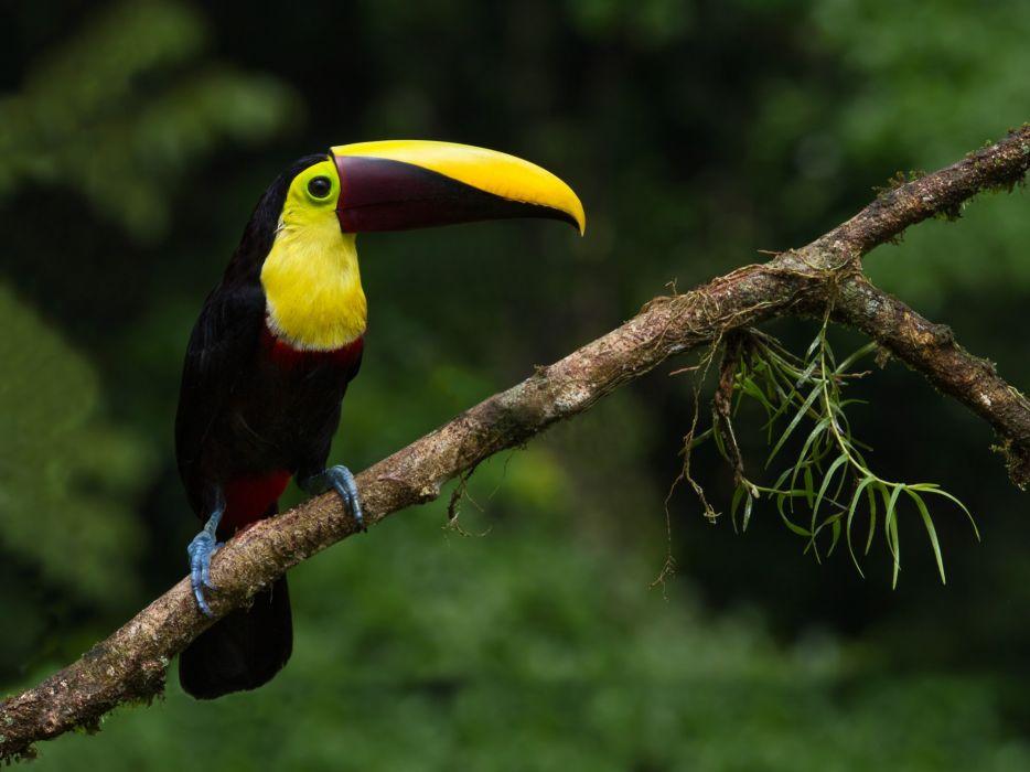 TOUCAN parrot bird tropical (22) wallpaper