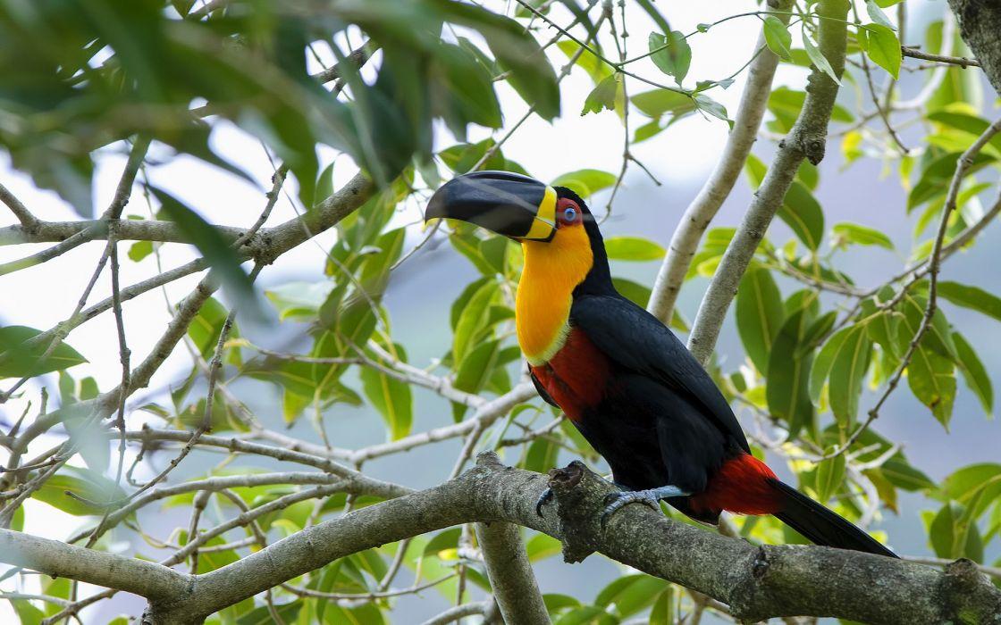 TOUCAN parrot bird tropical (25) wallpaper