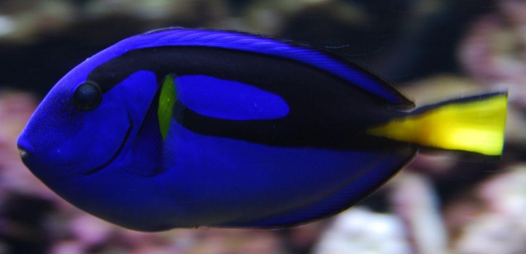 REGAL TANG ocean sea underwater tropical (7)_JPG wallpaper