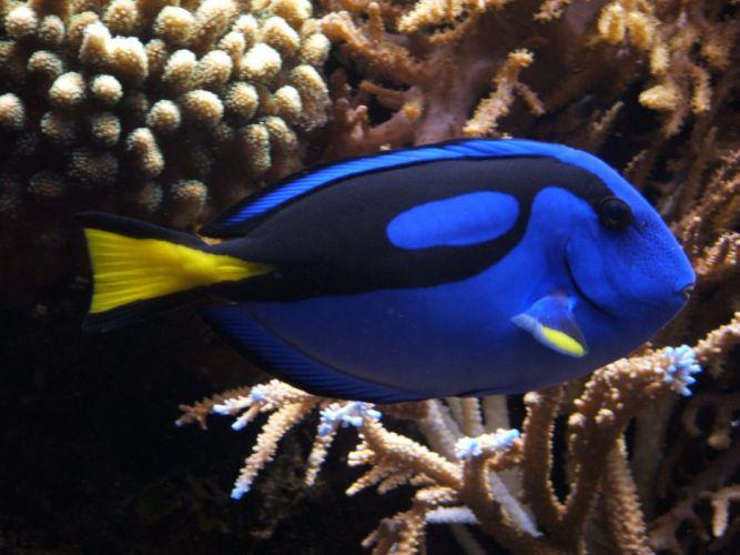 REGAL TANG ocean sea underwater tropical (1) wallpaper