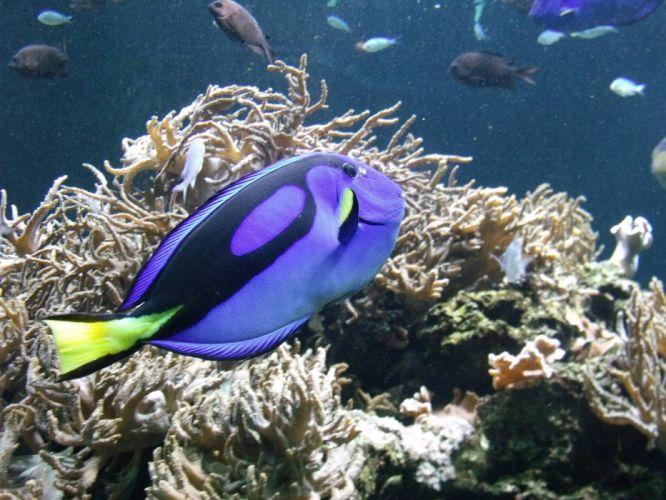 REGAL TANG ocean sea underwater tropical (4) wallpaper
