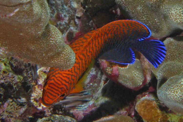 DWARF ANGELFISH coral beauty underwater ocean sea (1) wallpaper