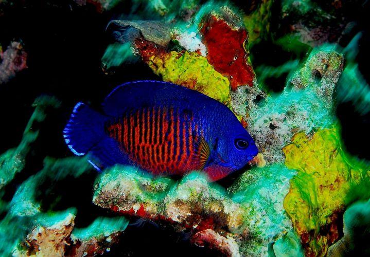 DWARF ANGELFISH coral beauty underwater ocean sea (2) wallpaper