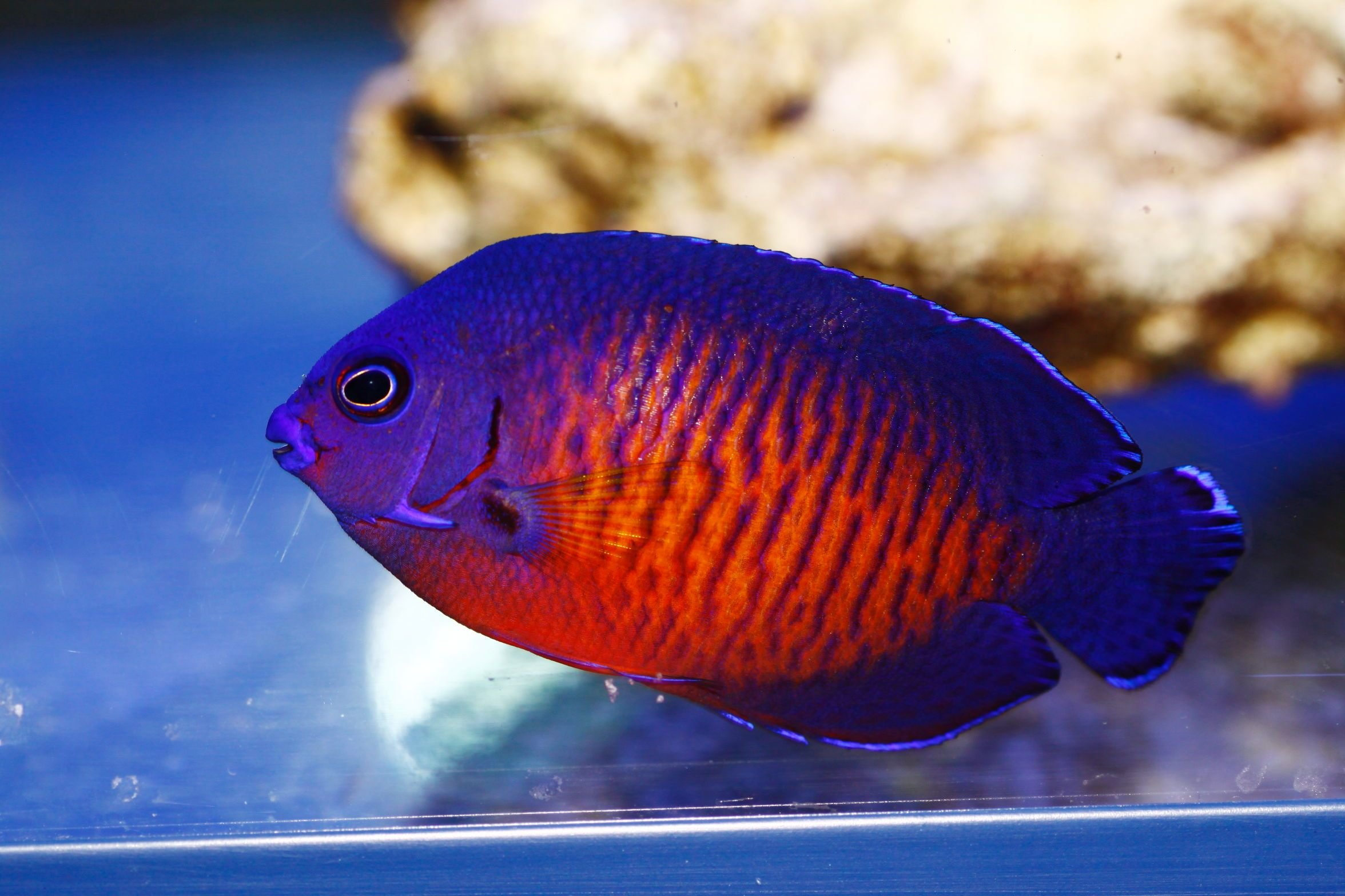 DWARF ANGELFISH coral beauty underwater ocean sea (4 ...