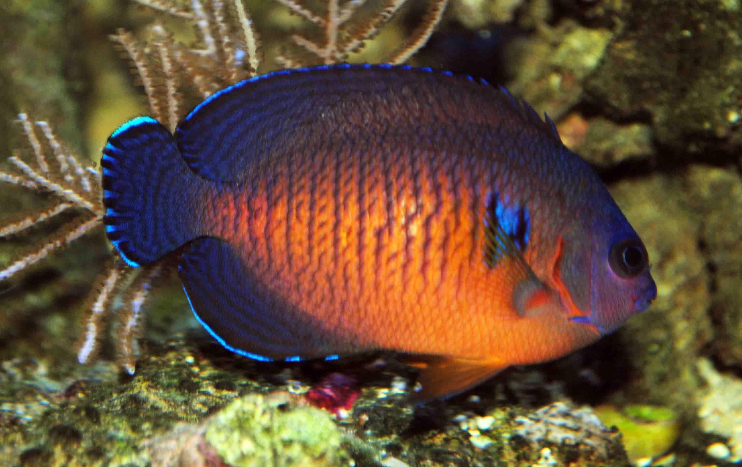 DWARF ANGELFISH coral beauty underwater ocean sea (5 ...