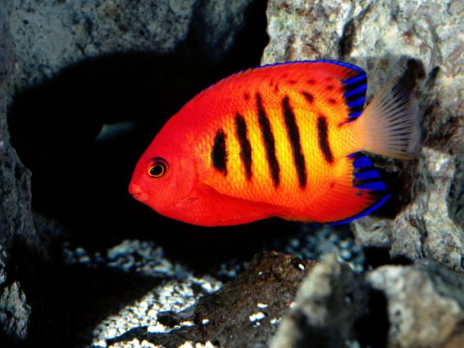 FLAME ANGELFISH tropical underwater ocean sea (9) wallpaper
