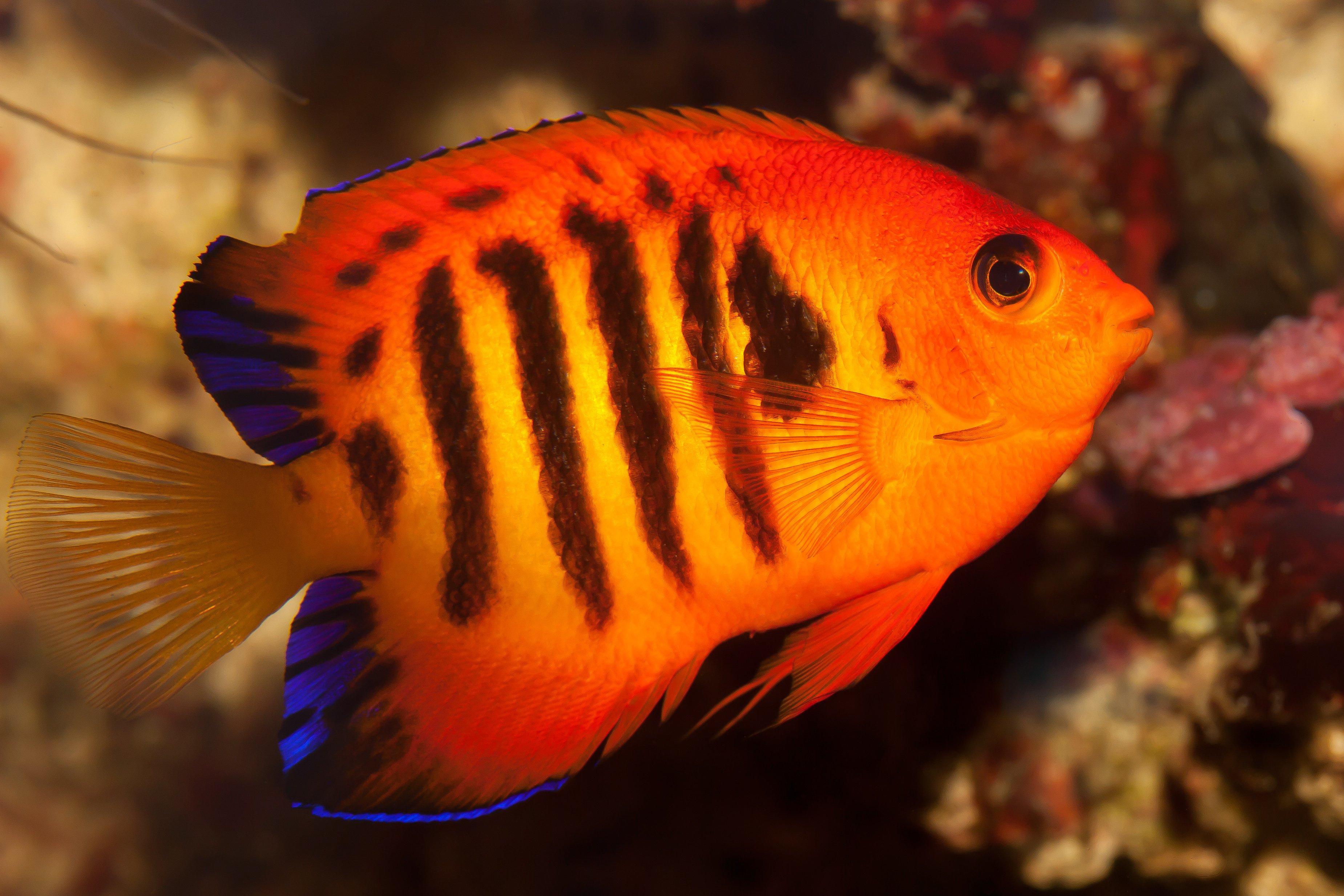 flame angelfish tropical underwater ocean sea 8