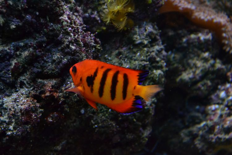 FLAME ANGELFISH tropical underwater ocean sea (7) wallpaper